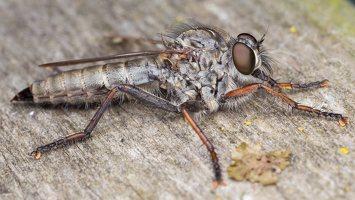 Asilidae · musė plėšrūnė 5334