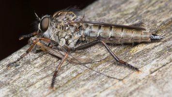 Asilidae · musė plėšrūnė 5335