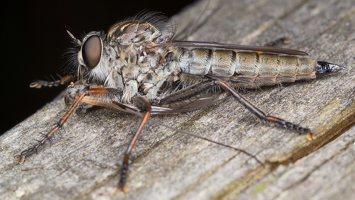 Asilidae · musė plėšrūnė 5336