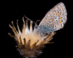 Polyommatus icarus · dirvinis melsvys 5366