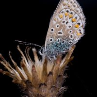 Polyommatus icarus · dirvinis melsvys 5369