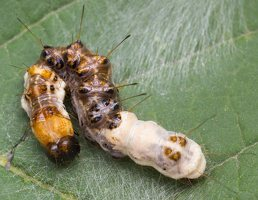 Acronicta alni young caterpillar · alksninis strėlinukas, jaunas vikšras 2551
