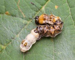 Acronicta alni young caterpillar · alksninis strėlinukas, jaunas vikšras 2553