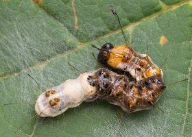 Acronicta alni young caterpillar · alksninis strėlinukas, jaunas vikšras 2554