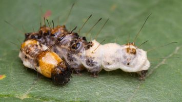 Acronicta alni young caterpillar · alksninis strėlinukas, jaunas vikšras 2555