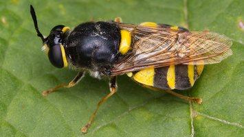 Stratiomyidae · plokščiamusės