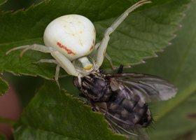Misumena vatia female · geltonasis žiedvoris ♀ 2575