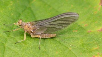 Ephemerella ignita female · paprastoji kibiakojė ♀ 2576