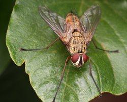 Diptera 2579