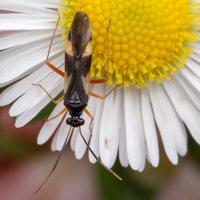 Globiceps fulvicollis · žolblakė 2681