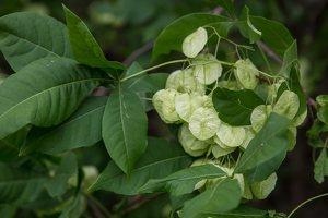 Ptelea trifoliata · trilapė ptelija 2724