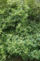 Ptelea trifoliata · trilapė ptelija 2732
