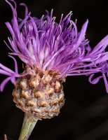 Centaurea jacea · pakrūminė bajorė 2842