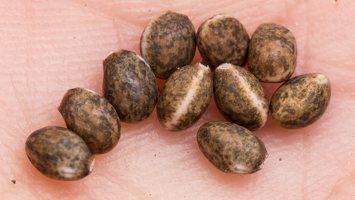 Lupinus polyphyllus, seeds · gausialapis lubinas, sėklos 2844
