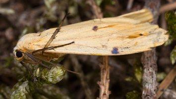 Lithosia quadra female · keturtaškė kerpytė ♀ 2845