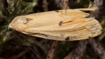 Lithosia quadra female · keturtaškė kerpytė ♀ 2846