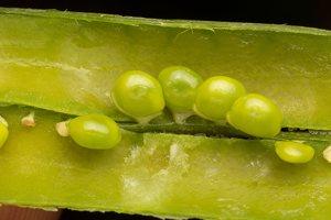 Lathyrus sylvestris · miškinis pelėžirnis 2852