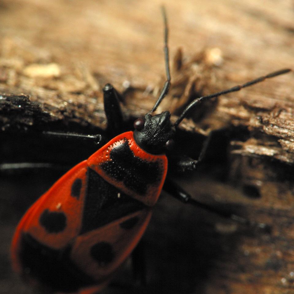 Pyrrhocoris-apterus-2185.jpg