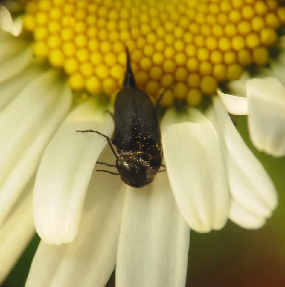 Mordellidae-2253.jpg