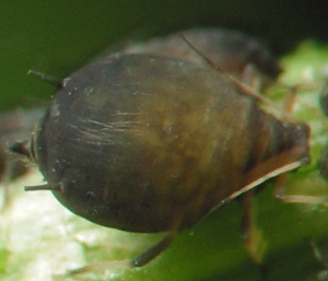 Aphidoidea-2346.jpg