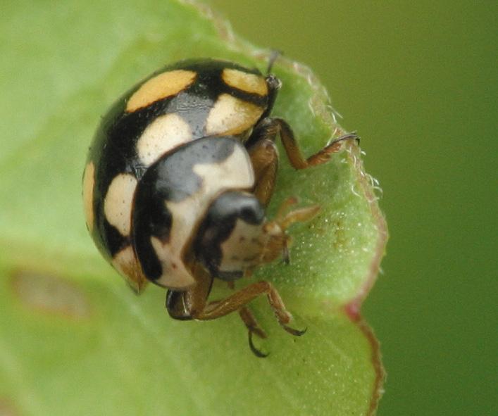 Coccinula-quatuordecimpustulata-3285.jpg