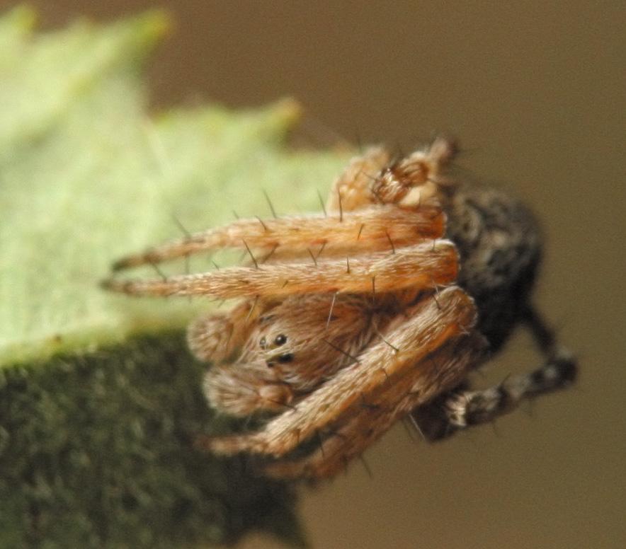 Araneidae-4580.jpg