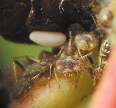 Aphidoidea-4592a.jpg