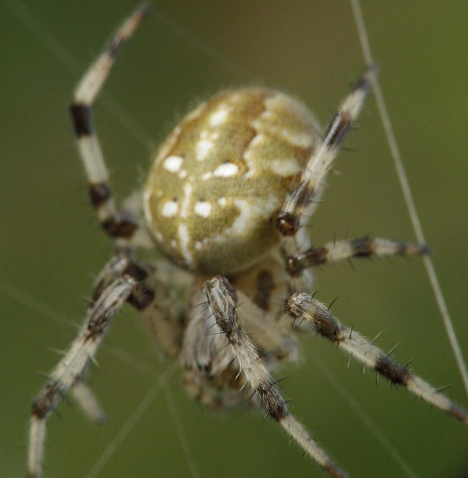 Araneus-quadratus-4713.jpg