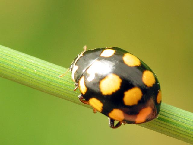 Coccinula-quatuordecimpustulata-6376.jpg