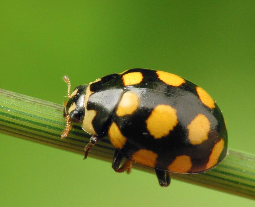 Coccinula-quatuordecimpustulata-6378.jpg