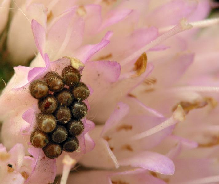 Heteroptera-eggs-6424.jpg