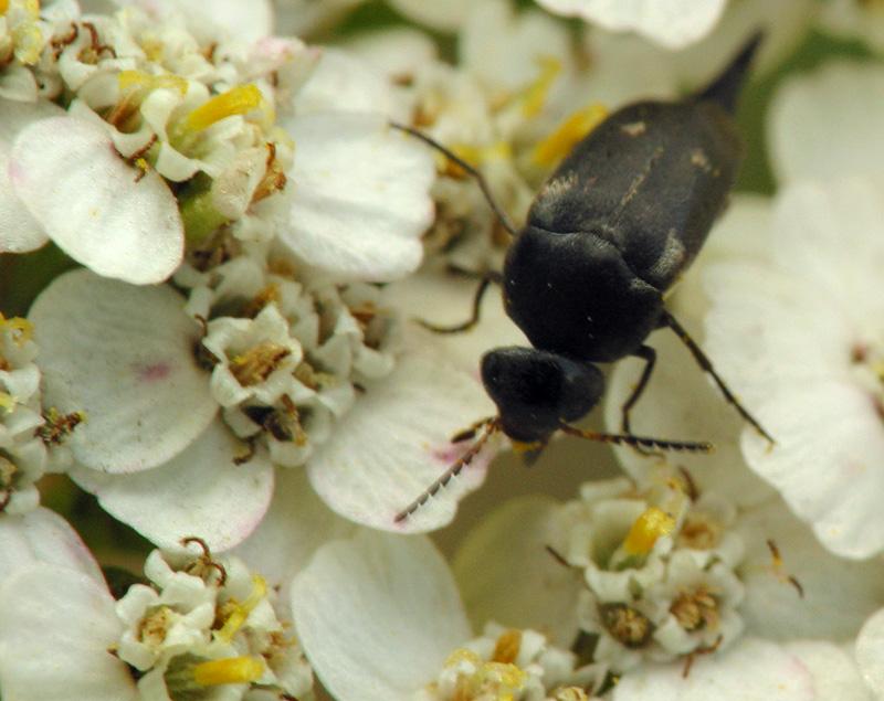 Mordellidae-6541.jpg