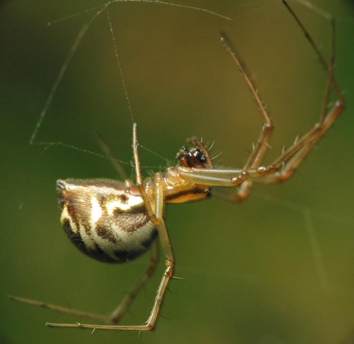 Tetragnathidae-6588.jpg