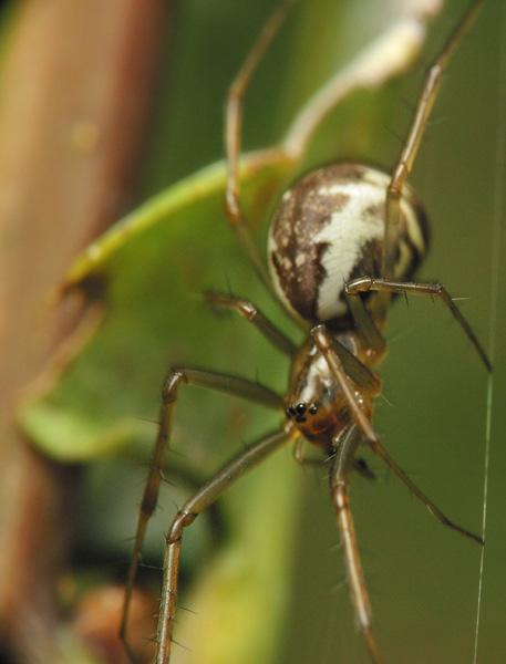 Tetragnathidae-6589.jpg