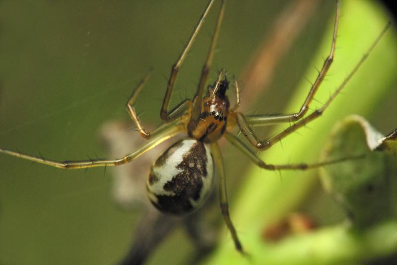 Tetragnathidae-6590.jpg