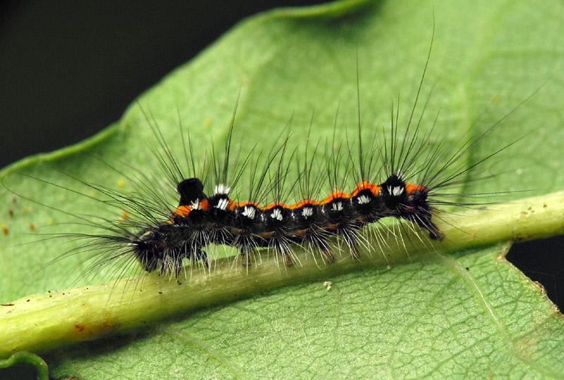 Euproctis-similis-6644.jpg