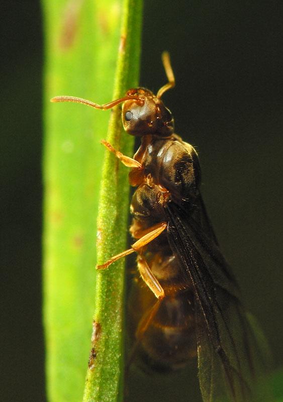 Formicidae-6690.jpg