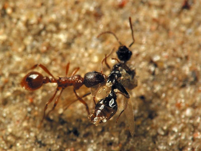 Formicidae-6762.jpg