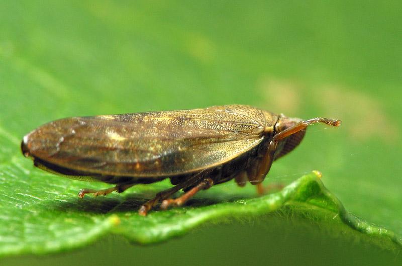 Aphrophoridae-6764.jpg