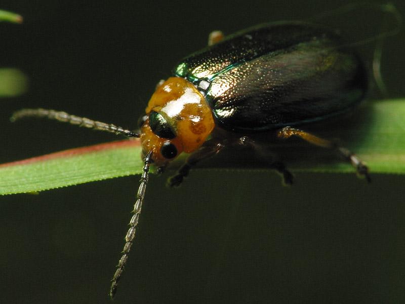 Sermylassa-halensis-6821.jpg