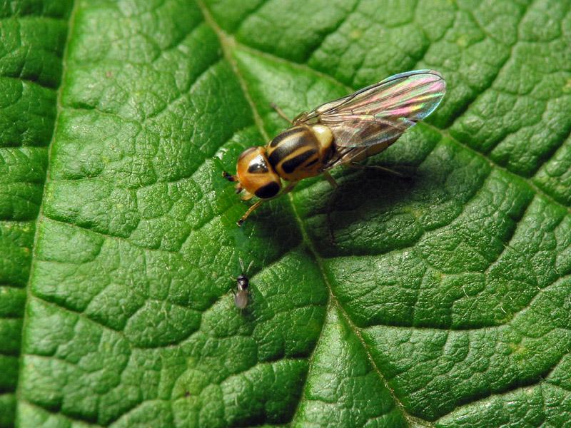 Chloropidae-6826.jpg