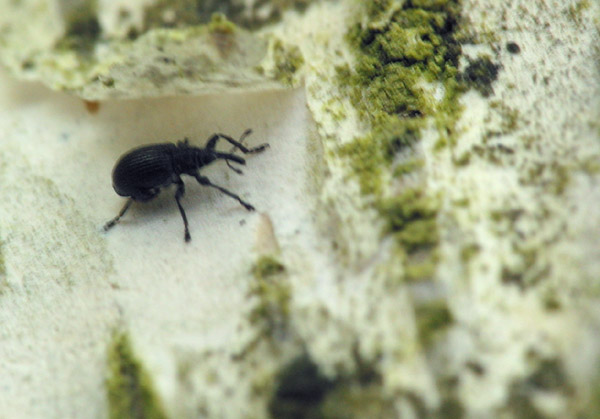 Apionidae-7558.jpg