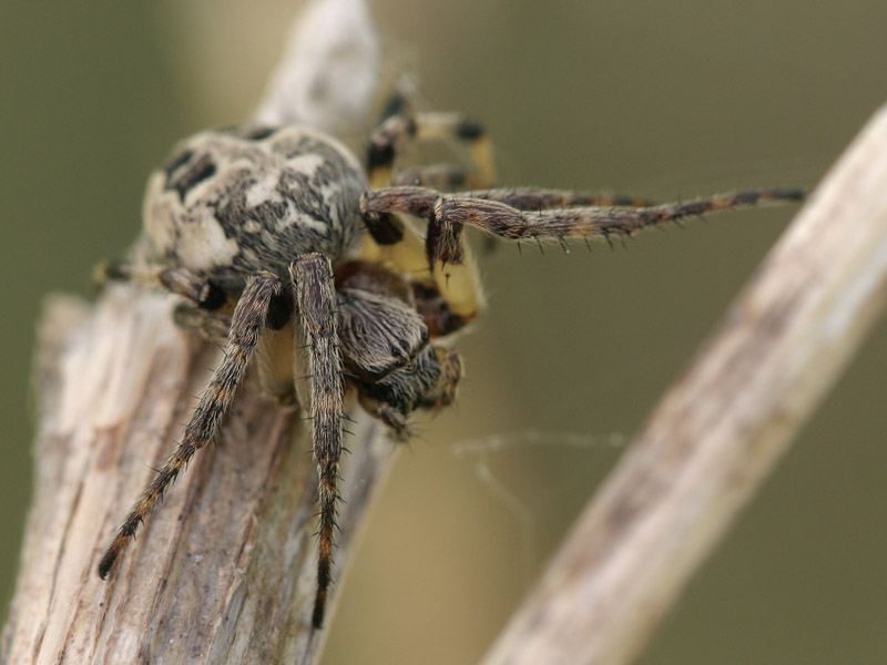 Larinioides-cornutus-7692.jpg