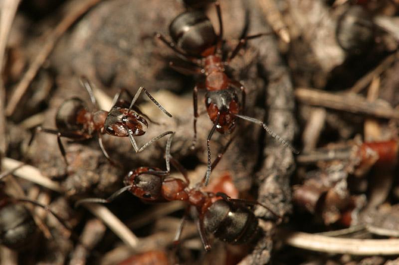 Formicidae-7737.jpg