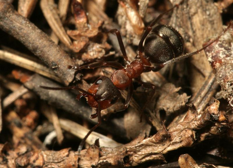 Formicidae-7738.jpg