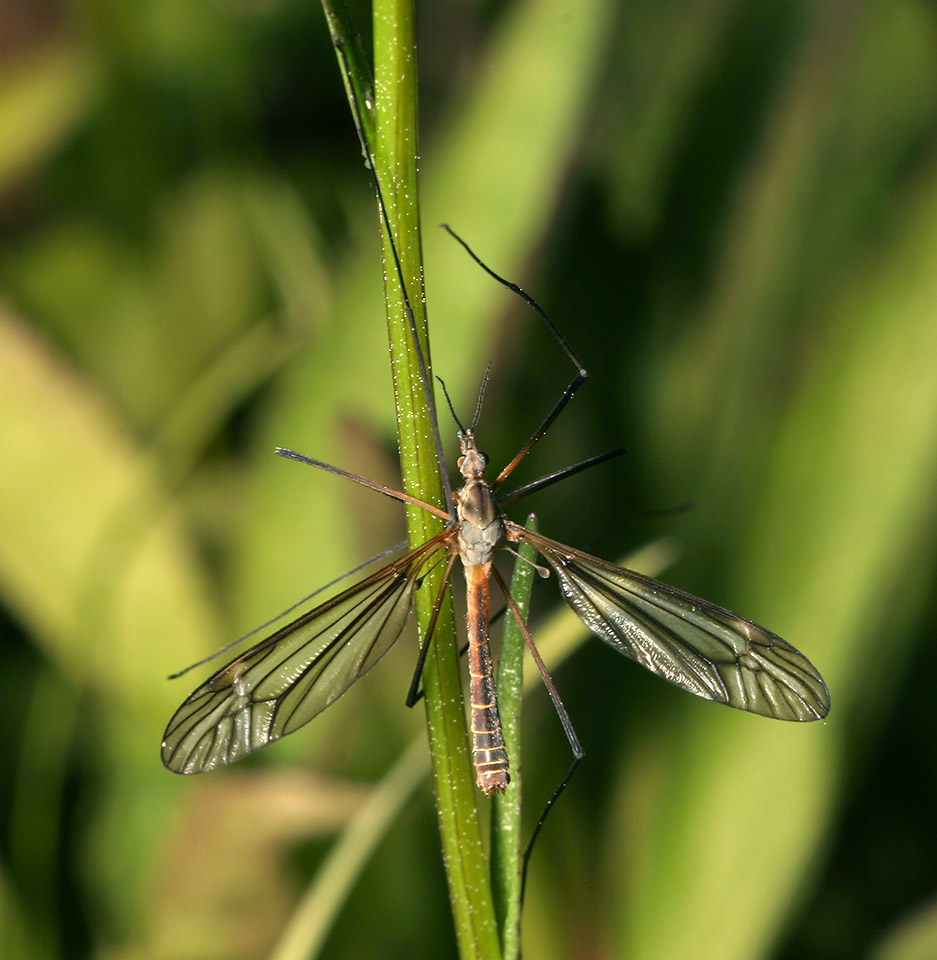 Tipulidae-7825.jpg