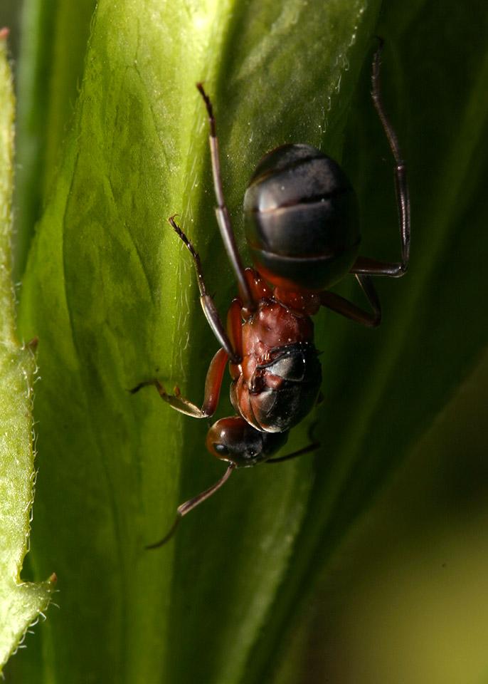 Formicidae-7827.jpg