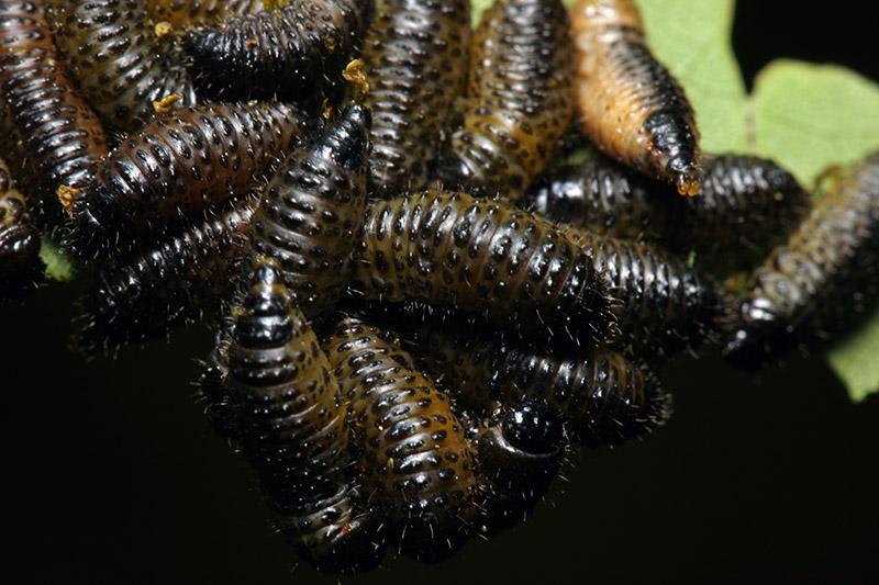 Chrysomelidae-larvae-7841.jpg