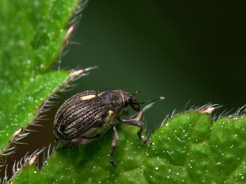 Curculionidae-7858.jpg