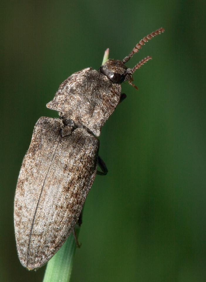 Agrypnus-murinus-7924.jpg